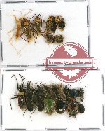 Scientific lot no. 342 Heteroptera (23 pcs A-, A2)