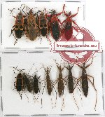 Scientific lot no. 340 Heteroptera (Reduviidae) (12 pcs)