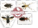 Scientific lot no. 338 Heteroptera (Reduviidae) (4 pcs - 1 pc A2)