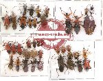 Scientific lot no. 1 Heteroptera (39 pcs)