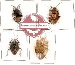 Scientific lot no. 6 Heteroptera (4 pcs)