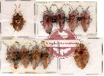 Scientific lot no. 7 Heteroptera (10 pcs)