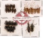 Scientific lot no. 9 Heteroptera (33 pcs)