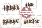 Scientific lot no. 16 Heteroptera (19 pcs)