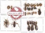 Scientific lot no. 17 Heteroptera (31 pcs)