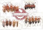 Scientific lot no. 24 Heteroptera (A2) (20 pcs)