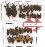 Scientific lot no. 324 Heteroptera (34 pcs)