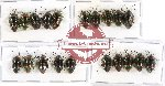 Scientific lot no. 199A Heteroptera (Scutellarinae) (20 pcs A-, A2)