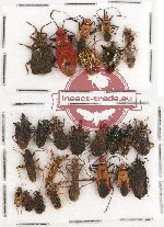 Scientific lot no. 304 Heteroptera (26 pcs)