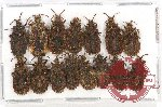Scientific lot no. 328 Heteroptera (Aradidae) (15 pcs A, A-, A2)