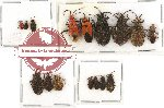 Scientific lot no. 319 Heteroptera (16 pcs A, A-, A2)