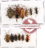 Scientific lot no. 337 Heteroptera (12 pcs)