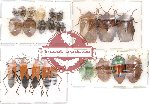 Scientific lot no. 26 Heteroptera (A2) (23 pcs)