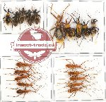 Scientific lot no. 329 Heteroptera (Reduviidae) (20 pcs A, A-, A2)