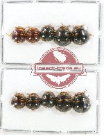 Scientific lot no. 317 Heteroptera (10 pcs A2)