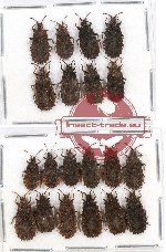 Scientific lot no. 316 Heteroptera (Aradidae) (20 pcs - 8 pcs A2)