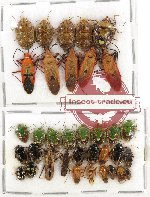 Scientific lot no. 313 Heteroptera (35 pcs)