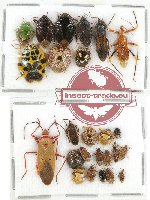 Scientific lot no. 322 Heteroptera (25 pcs A, A-, A2)