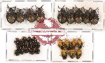 Scientific lot no. 309 Heteroptera (Pentatomidae) (31 pcs)