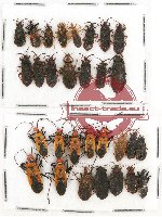 Scientific lot no. 306 Heteroptera (30 pcs)