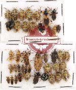 Scientific lot no. 326 Heteroptera (42 pcs)