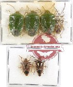 Scientific lot no. 305 Heteroptera (Pentatomidae) (6 pcs)