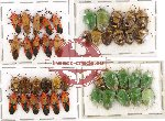 Scientific lot no. 311 Heteroptera (43 pcs)