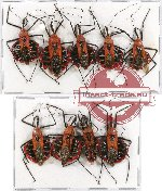 Scientific lot no. 320 Heteroptera (Reduviidae) (9 pcs A2)