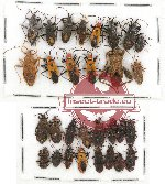 Scientific lot no. 321 Heteroptera (30 pcs)