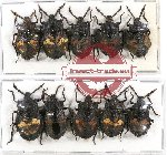 Scientific lot no. 301 Heteroptera (Pentatomidae) (10 pcs A, A2)
