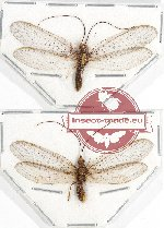 Scientific lot no. 3 Neuroptera (2 pcs A2)