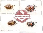 Scientific lot no. 33 Heteroptera (4 pcs)