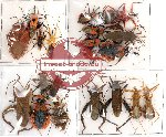 Scientific lot no. 36 Heteroptera (20 pcs A, A-)