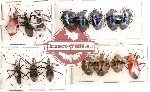 Scientific lot no. 41 Heteroptera (15 pcs A, A-, A2)