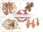 Scientific lot no. 43 Heteroptera (10 pcs A, A-, A2)