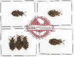 Scientific lot no. 308 Heteroptera (Aradidae) (6 pcs A, A-, A2)