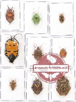 Scientific lot no. 343 Heteroptera (Pentatomidae) (9 pcs - 1 pc A2)
