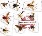 Scientific lot no. 350 Heteroptera (Reduviidae) (9 pcs)
