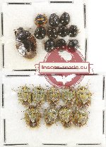 Scientific lot no. 312 Heteroptera (20 pcs)