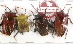 Scientific lot no. 351 Heteroptera (Pentatomidae) (4 pcs A2)