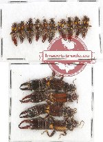 Scientific lot no. 29 Dermaptera (14 pcs A, A-, A2)