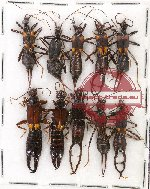 Scientific lot no. 22 Dermaptera (10 pcs A1, A2)