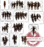 Scientific lot no. 1 Dermaptera (37 pcs A, A-, A2 )