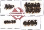 Scientific lot no. 409 Heteroptera (Cydnidae) (23 pcs)