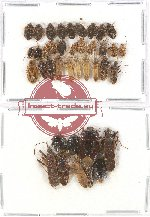 Scientific lot no. 407A Heteroptera (39 pcs)