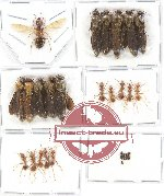 Scientific lot no. 6A Formicidae (25 pcs)