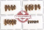 Scientific lot no. 13 Cantharidae (19 pcs - 4 pcs A2)