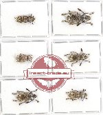 Anthribidae scientific lot no. 71 (6 pcs)