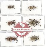 Anthribidae scientific lot no. 70 (6 pcs)