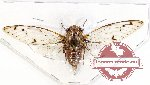 Cicadidae sp. 55